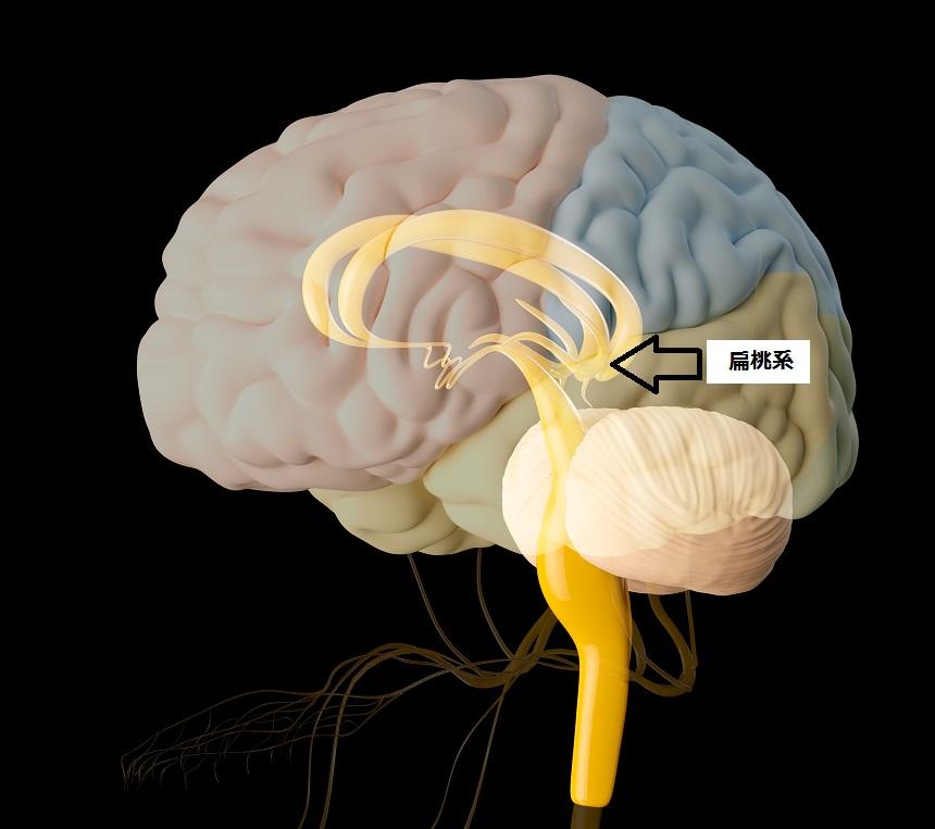 脳の扁桃系